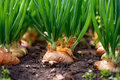Close-up Of Onion Plantation In A Hothouse Stock Photo - 90175830