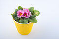 Top View. Pink Primrose In Yellow Plastic Pot  On White Background Stock Photography - 90179492