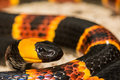 Eastern Coral Snake Stock Images - 90181204
