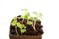 Seedlings Of Rocket Salad Or Rucola In Peat Pot Royalty Free Stock Images - 90189159