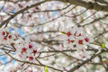 Sakura Flowers Or Soft Focus Cherry Blossom On Nature Background Royalty Free Stock Image - 90224666