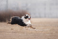 Dog Running And Playing In The Park Stock Image - 90251851