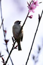 Sparrow Stock Images - 90260874