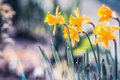 Beautiful Narcissists Or Daffodils In Garden Or Park, Closeup. Outdoor Floral Springtime Royalty Free Stock Photo - 90271755