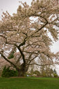 Blossoming Cherry Tree Royalty Free Stock Image - 9036716