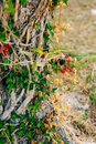 Close-up Of The Trunk Of A Tree Of Olives. Olive Groves And Gard Royalty Free Stock Images - 90300839