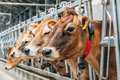 Jersey Dairy Cows, Close-up View Stock Photo - 90313110
