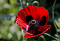 Papaver Commutatum - Ladybird Poppy Stock Photography - 90319272