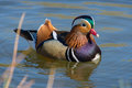 Colorful Mandarin Duck Swimming In A Pond On A Sunny Day Of Spring. Stock Photos - 90325853