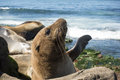 Sea Lion Baby Seal - Puppy On The Beach, La Jolla, California. Stock Photos - 90338443