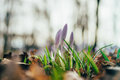 Closeup On Three Crocus Flowers By Early Spring Stock Photography - 90355762