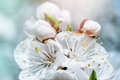 Full Blooming Of Apricot Tree. Closeup With Soft Selective Focus. Royalty Free Stock Image - 90412816
