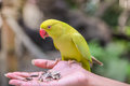 Parrot Eating Feeds Stock Photography - 90419782