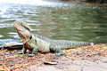 Eastern Water Dragon, Physignathus Lesueurii Agamidae. Brisban Stock Photo - 90437000