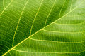 Green Leaf Macro Royalty Free Stock Photography - 90486627
