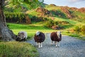 Curious Sheeps On Pasture In The Lake District, England Stock Photography - 90532802