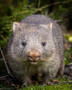Baby Bare Nosed Wombat Royalty Free Stock Photos - 90536958
