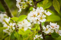 Blooming Pear Tree Royalty Free Stock Image - 90545886