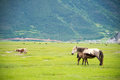 SHANGRILA, CHINA - Jul 31 2014: Horses At Napa Lake. A Famous La Stock Image - 90586661