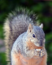 Squirrel Stock Photography - 9063902