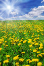 Field Of Dandelions Stock Image - 9065881