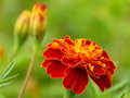 Marigold Flower Stock Photo - 90688340