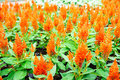Orange Snapdragon Flowers Field Royalty Free Stock Photography - 90707707