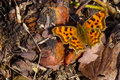 Polygonia C-album Butterfly Royalty Free Stock Photos - 90741958