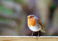 An  Robin Redbreast Perched On A Wooden Fence Royalty Free Stock Photo - 90745765