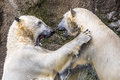 Polar Bears Fighting An Playing Stock Photography - 90757772