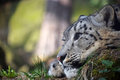 Close Up Side Portrait Of Snow Leopard Royalty Free Stock Images - 90808209