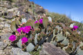 Beavertail Cactus And Other Wildflowers Blooming In Joshua Tree N Stock Images - 90851054
