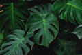 Low Key, Green Leaves Of Monstera Plant Growing In Wild, The Tropical Forest Plant Royalty Free Stock Photography - 90912737