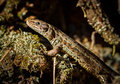 Common Lizard, Zootoca Vivipara Stock Photography - 90947022
