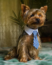Beautiful Yorkshire Terrier Playing Pet, Friendly, Playing, Dog, Garden, Doggy Stock Photography - 90951182