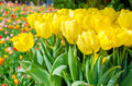 Spring Background With Beautiful Yellow Tulips In Keukenhof Garden, Netherlands Stock Images - 90964484