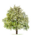 Pear Tree In Bloom Stock Photos - 9103093
