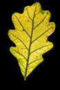 Autumnal Oak Leaf Royalty Free Stock Photography - 91009597