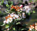 Apple Blossom Damaged By Morning Frost In Region Of Prespa,macedonia Royalty Free Stock Photo - 91062525