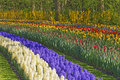 Blue Grape Hyacinth And Tulip  Field Stock Photography - 91091522