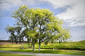 Live Oak Tree Stock Image - 9116321