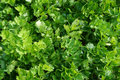 Celery Leaf Texture Stock Photography - 91120112