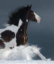 American Paint Horse Running Gallop Across A Winter Snowy Field Stock Image - 91125171