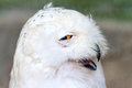 Funny Snowy Owl Royalty Free Stock Photography - 91125347