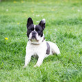 French Bulldog Royalty Free Stock Images - 91140589