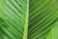 Green Leaves Have Beautiful Stripes As The Background Royalty Free Stock Photo - 91189005
