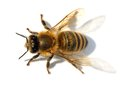 Detail Of Bee Or Honeybee , Apis Mellifera Stock Image - 91203831