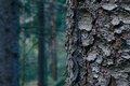 Thee Trunk Closeup, Mystical Pine Woods On The Background. Pine Royalty Free Stock Image - 91205796