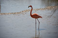 Pink Flamingos Royalty Free Stock Images - 91216959