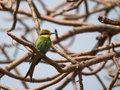 Swallow-tailed Bee-eater Merops Hirundineus Chrysolaimus Stock Image - 91224551